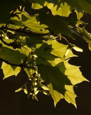 maple maple leaf journal