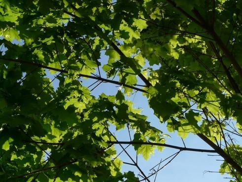 maple maple leaves journal