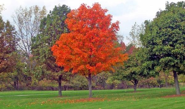 maple tree in park