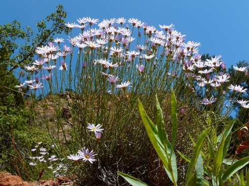 margarithe flower bloom