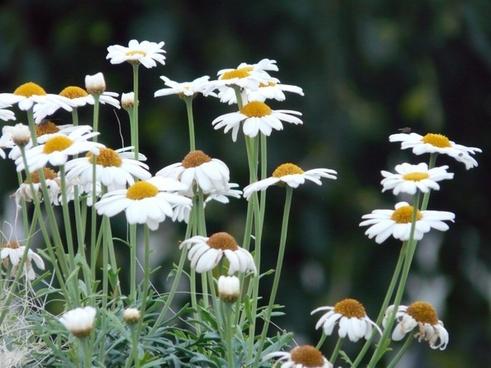 marguerite tree daisy argyranthemum frutescens