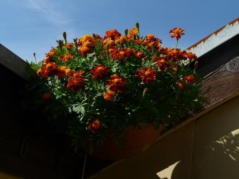 marigold balcony plant ornamental plant