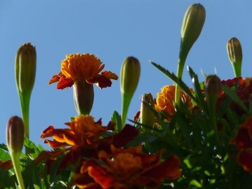 marigold flower bud