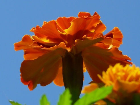 marigold flower color