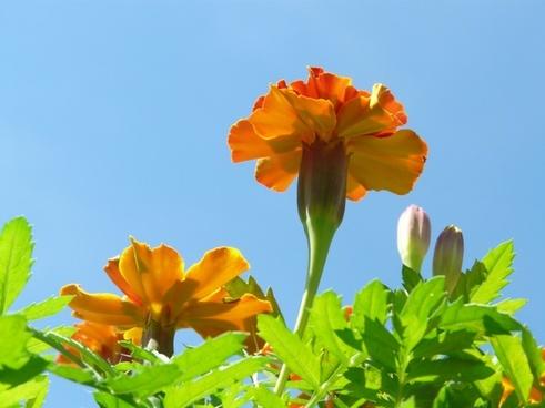marigold flower marigolds