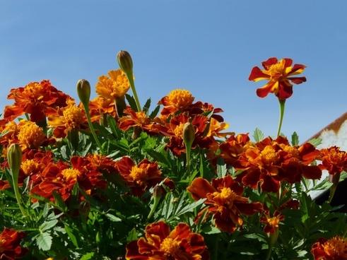 marigold flower prosperous