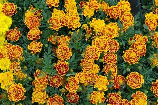 marigold flower spring