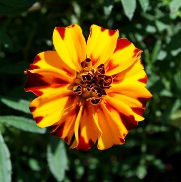 marigold flower variegated