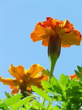 marigold marigolds flower