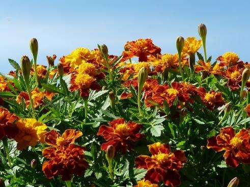 marigold marigolds turkish carnation