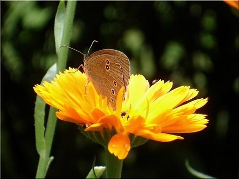 marigold summer butterfly