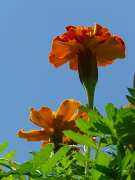 marigolds marigold turkish carnation