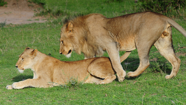 mating lion