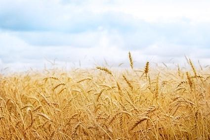 mature grain 1