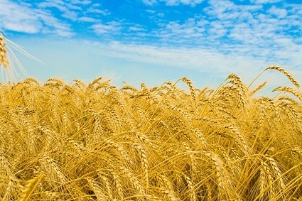 mature grain 2
