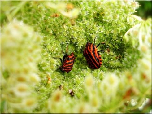 meadow bug wild