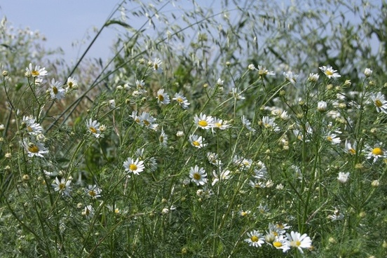 meadow chamomile early summer