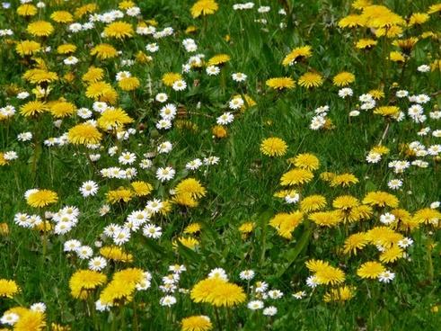 meadow flowers dandelion