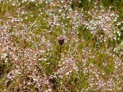 meadow grass dew