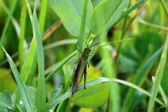 meadow grass grasshopper