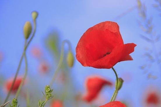 meadow poppy grass