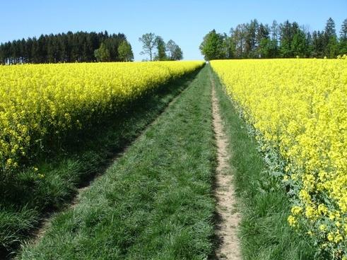 meadow rapeseed rapsfeld
