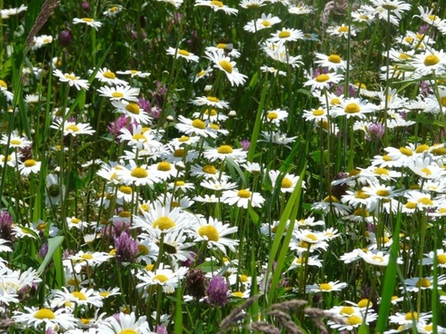 meadows margerite leucanthemum vulgare flower