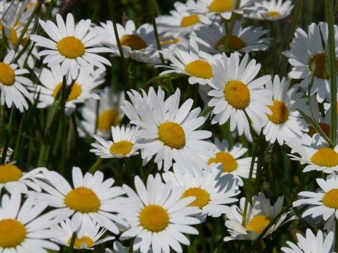 meadows-margerite leucanthemum vulgare flower