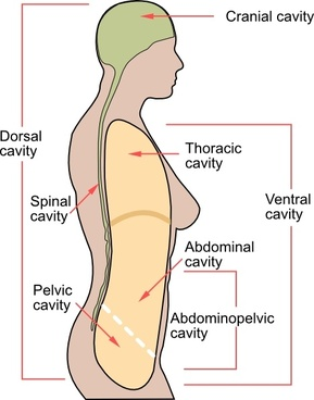 Medical Body Cavities En clip art