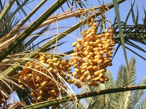 medina tree dates