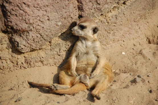 meerkat animals africa