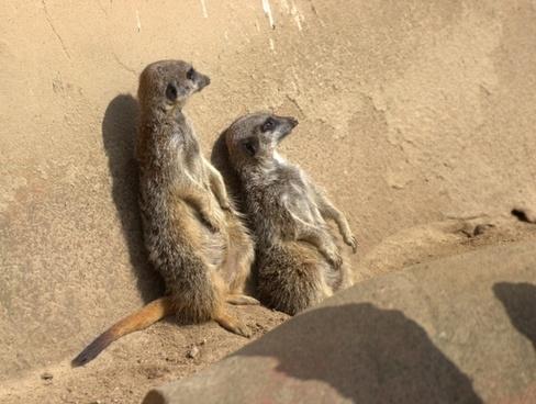 meerkat nature pets