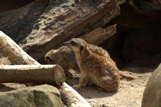 meerkat zoo pets