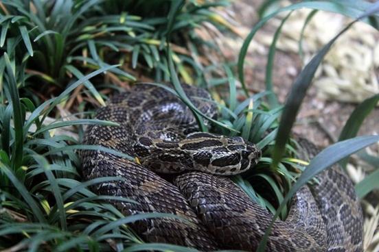 mexican lance headed rattlesnake