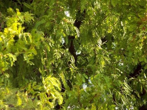 mimosa tree leaves