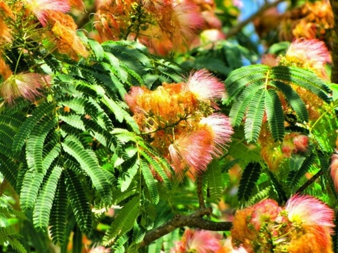 mimosa tree pink