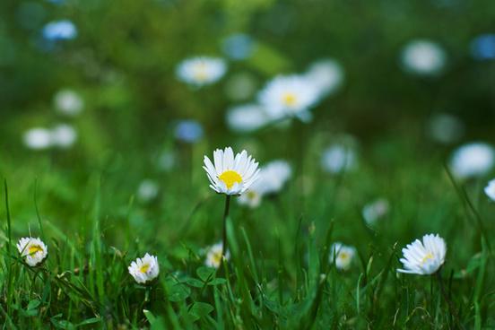 mini daisies hbw