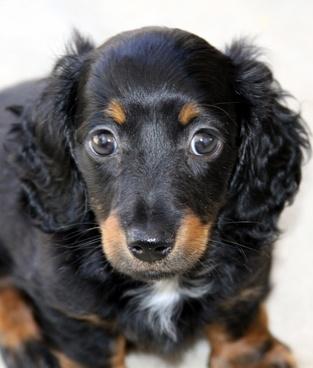 mini longhair dachshund