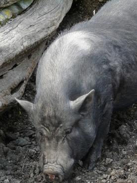 miniature pig pig teacup pigs
