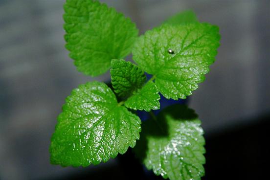 mint leaves 8 25 09 img 0107