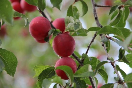 mirabelle berries plum