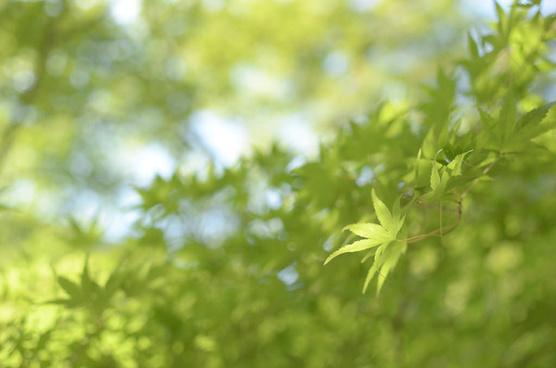 momiji green