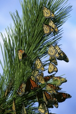 monarch butterflies butterfly insects