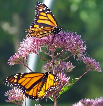 Monarch Butterflies On A Flower