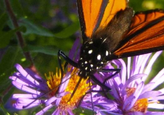monarch butterfly detail