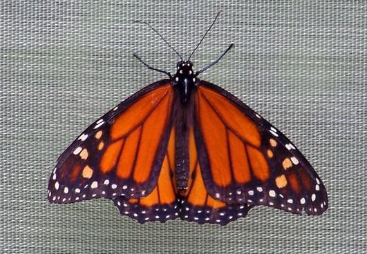 monarch butterfly screen