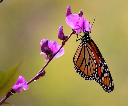 monarch butterfly wings flying insect