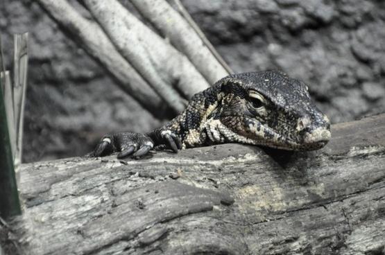 monitor lizard reptile