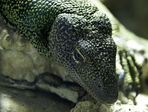 monitor lizard reptile animal