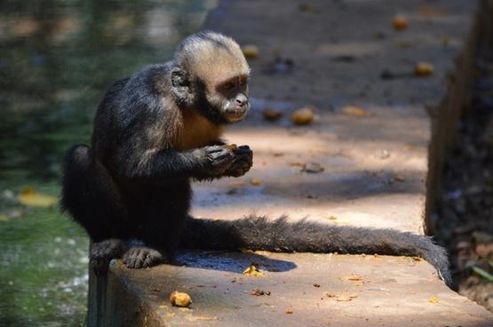 monkey animals salvador